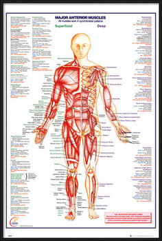 Kehystetty juliste Human Body - Major Anterior Muscles