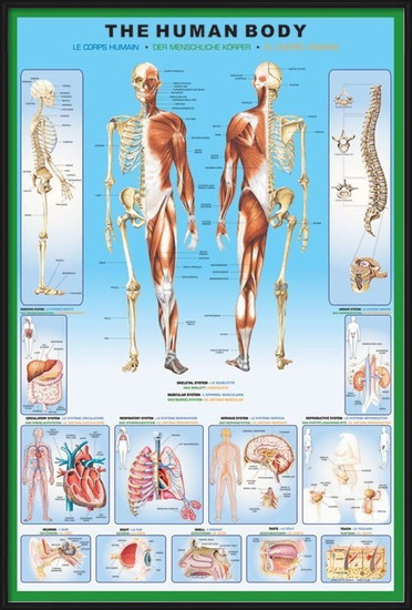 Juliste  The human body