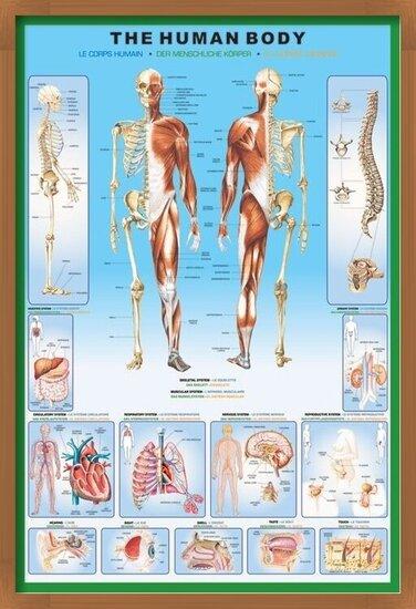 Juliste  The human body