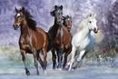 Running horses - bob langrish