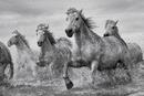 Hevoset - Camargue Horses